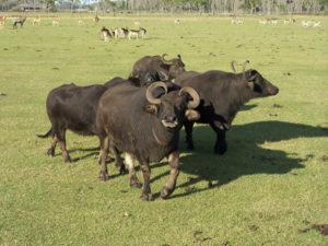 Water buffaloes gather at Safari Wilderness